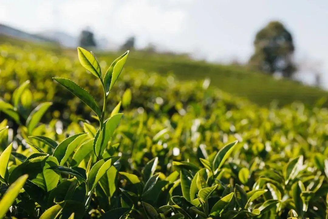 《湖北省促进茶产业发展条例》政策解读